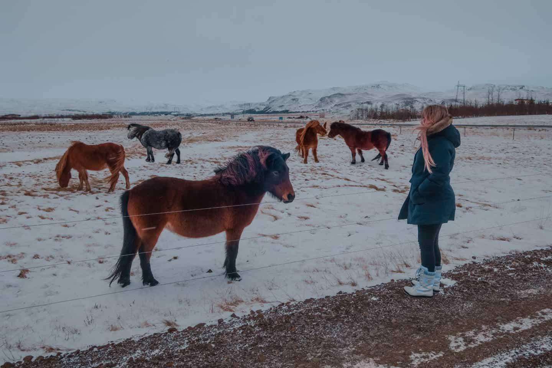 Cavalos islandeses no inverno