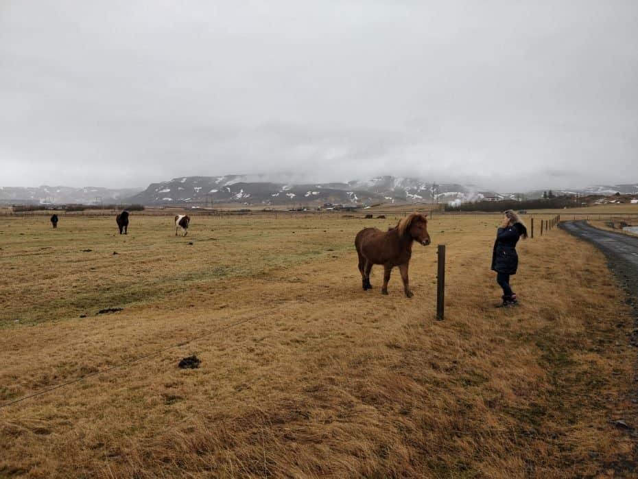 Os cavalos na Islândia são doceis