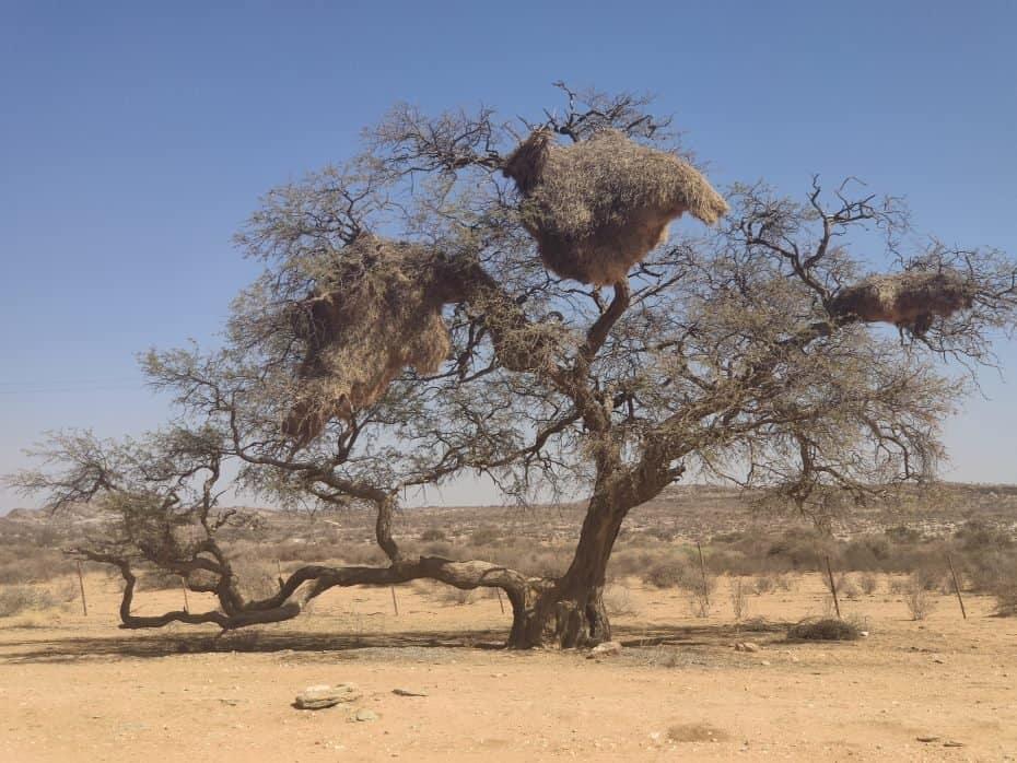 árvores na Namíbia