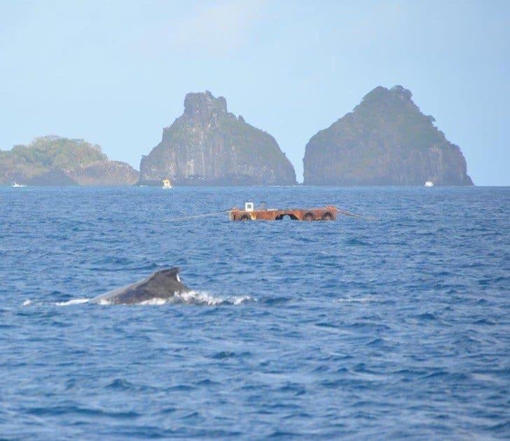 quando encontrar baleias em Noronha