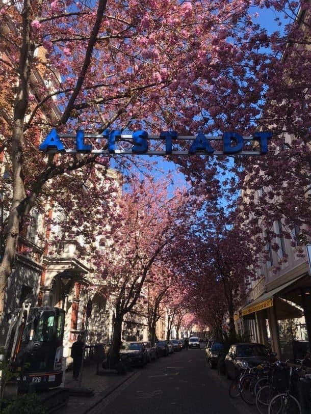 Cerejeiras em Bonn